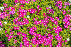 Garden phlox flowers blooming in graden. In bright sunny day stock image