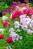 Garden phlox Royalty Free Stock Photos