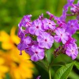 Garden Phlox Stock Image