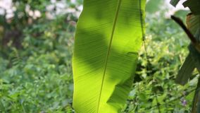 Garden at Phu Quoc Island, Kien Giang province, Vietnam. Banana leaf, Phu Quoc island, Kien Giang province, Vietnam. Phu Quoc is blessed with favourable natural stock footage