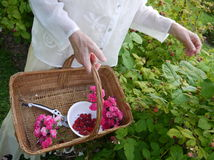 Garden: picking fresh raspberries. Woman with basket picking fresh raspberries Stock Photo