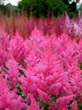 Garden: pink Astilbe flower border Stock Photos