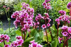 Garden with pink Bergenias. Royalty Free Stock Image