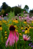 Garden: pink Echinacea Purpurea coneflowers Stock Photo