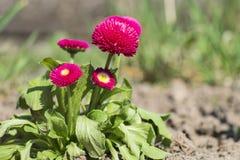 Garden pink English daisies. Bellis perennis Stock Photo