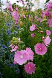 Garden: pink hollyhock flowers Stock Image