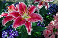 Pink patterned lily flower royalty free stock photo