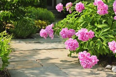 Garden with pink peonies Stock Photo