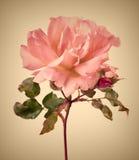 Garden pink rose. Vintage garden pink rose with soft focus Stock Image