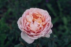 Garden pink rose. Royalty Free Stock Image