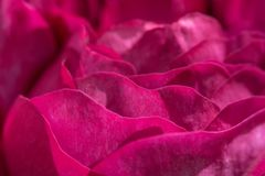Rose Flowers Petals Background royalty free stock images