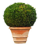 Garden plant. Large boxwood in a clay pot Stock Photography