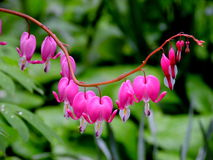 Garden plant Bleeding hearts. Beautiful flowers of Lamprocapnos spectabilis - bleeding hearts Stock Photography