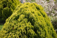 The bush is green beautiful. Garden plant, close-up of a coniferous bush.Spring mood Stock Photography