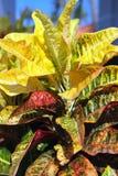 Garden plant - croton. Codiaeum variegatum. Stock Photos