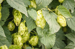 Garden plant - hops with cones. Humulus Stock Photography