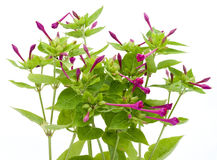 Garden plant with magenta  inflorescences Royalty Free Stock Photo