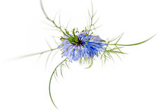 Nigella blue. Nigella sativa L. Stock Photography
