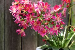 Garden plant with pink petals and textspace. Pink garden plant, at background a wooden fence Royalty Free Stock Photo