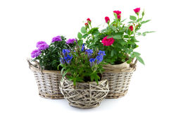 Garden plant in reed basket Royalty Free Stock Photos