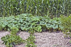 Pumpkins and corn in the garden