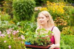 Garden – planting strawberry seedlings Stock Photos
