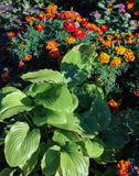 Garden  plants. Garden plants, autumnal floral background with flowers and green leaves Royalty Free Stock Photos