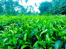 Garden plants of green tea of India picture royalty free stock photography