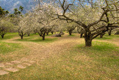 Garden with plum blossom Royalty Free Stock Photos