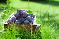 Garden plums in wooden box Stock Image