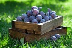 Garden plums in wooden box Stock Photo