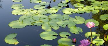 Garden Pond. Lily pads and water lily on botanical garden pond stock images