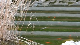 Garden pond with Carp koi stock video footage
