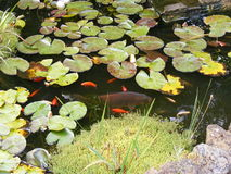 Garden pond with goldfish, koi and water lilies Royalty Free Stock Photos