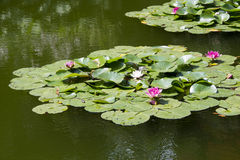 Garden pond Royalty Free Stock Images