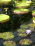 Garden: pond with waterlilies Stock Photos