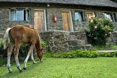 Garden pony. A young basutho pony grazing in front of the house Royalty Free Stock Images