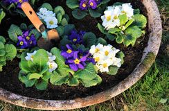 Garden pot. With primrose flower and little shovel royalty free stock photography