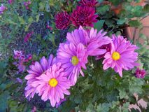 Pots of chrysanthemums and daisies royalty free stock photography