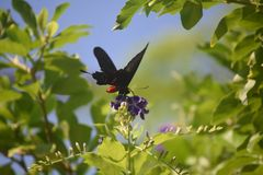 Pretty Scarlet Swallowtail Butterfly in a Garden. Garden with a pretty scarlet swallowtail butterfly royalty free stock photography