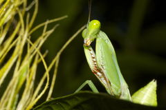 Garden preying mantis Stock Photography
