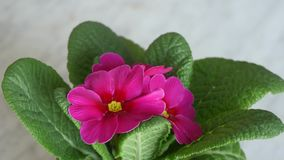 Garden Primrose Flowers Blossom stock footage