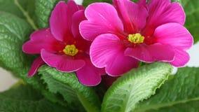 Garden Primrose Flowers Blossom stock video