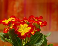 Garden Primrose Red Yellow Flower. Garden Primrose Primula acaulis-Hybrid, Primula vulgaris-Hybrid, potted plant with red and yellow flowers, studio picture Stock Image