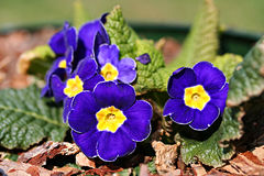 Garden primula cultivar Royalty Free Stock Photos