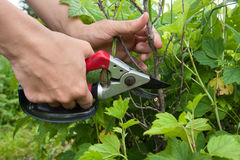 Garden pruner in hands of woman. Hands of gardener pruning black current with secateurs Royalty Free Stock Photography