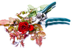 Garden pruner and red rose Stock Photography