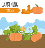 Garden. Pumpkin. Plant growth Stock Photo