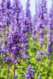 Purple flower. A garden of purple flower Royalty Free Stock Photography