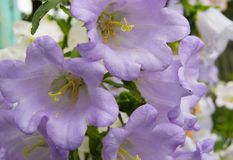 Garden of purple flowers, bells, grade Cup and saucer royalty free stock image